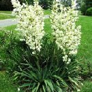 BULK YUCCA FILAMENTOSA ADAMS NEEDLE zone 5 hardy 100 seeds