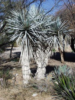 BLUE YUCCA RIGIDA  showy specimen winter hardy 10 seeds