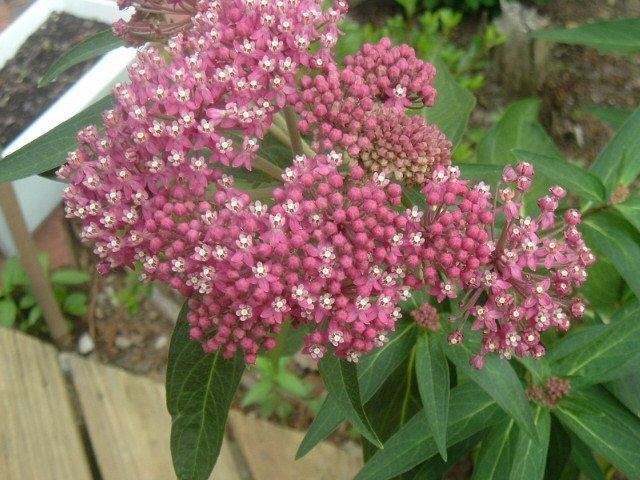 BUTTERFLY FLOWER (Milkweed) dark pink Asclepias incarnata 10 seeds