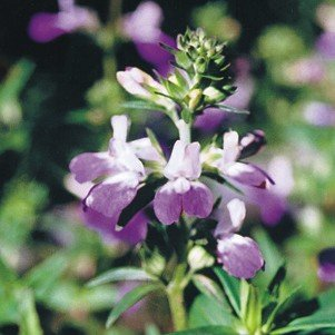 CHINESE HOUSE collinsia heterophylla 500+ seeds