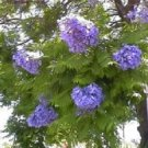 BLUE JACARANDA MIMOSIFOLIA flowering tree 10 seeds