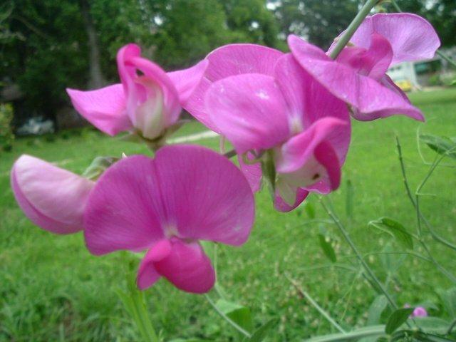 EVERLASTING PEA LATHYRUS LATIFOLIUS dark pink 10 seeds