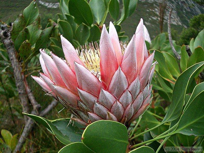 KING PROTEA CYRANOIDES pink 5 seeds