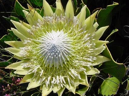 KING PROTEA CYRANOIDES yellow 5 seeds