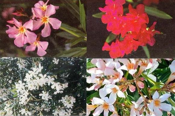 NERIUM OLEANDER red salmon white pink color mix 10 seeds