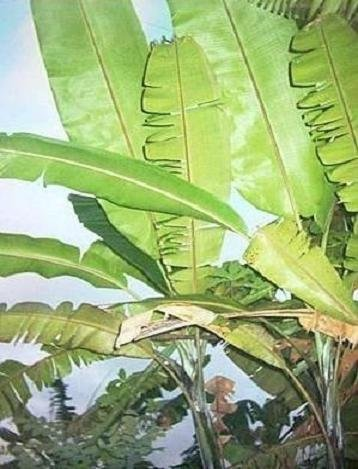 MUSA CHEESMANI Chesman's banana winter hardy rare 7 seeds