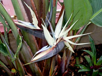 WHITE BIRD OF PARADISE STRELITZIA NICOLAI 100 seeds