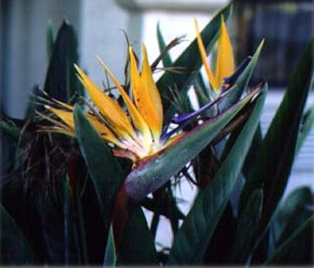 ORANGE BIRD OF PARADISE STRELITZIA REGINAE 100 seeds