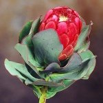 PROTEA GRANDICEPS peach protea 5 seeds
