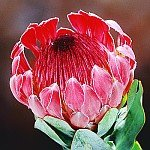 PROTEA EXIMIA frost tolerant pink 5 seeds