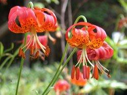 BULK PANTHER LILY LILIUM PARDALINUM 100 seeds