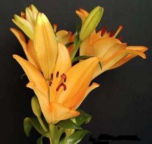 LILIUM AMABILE pretty and rare 10 seeds