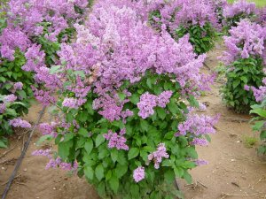 LATE LILAC SYRINGA VILLOSA extremly fragrant 15 seeds