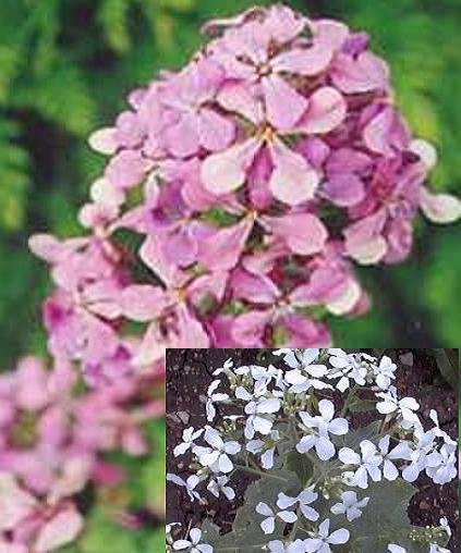 MONEY PLANT Lunaria Biennis 10 seeds