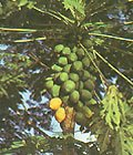 BULK - MELON TREE - CARICA PAPAYA 100 seeds