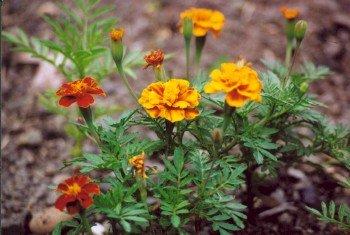 BULK - MARIGOLD tagetes sparky blooms all summer long 300+ seeds
