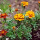 BULK - MARIGOLD tagetes sparky blooms all summer long 300+ seeds