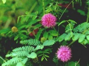 MIMOSA PUDICA, SENSITIVE PLANT 10 seeds