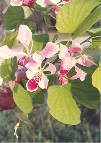 PINK ORCHID TREE Bauhinia monandra 10 seeds