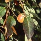 BULK - PERSIMMON TREE Diospyros virginiana 100 seeds