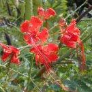 BULK RED BIRD OF PARADISE CAESALPINIA PULCHERRIMA 100 seeds