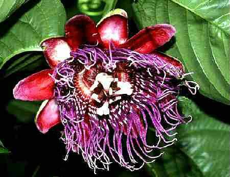 9 different PASSION VINES FLOWERS Passiflora mix very exotic 45 seeds