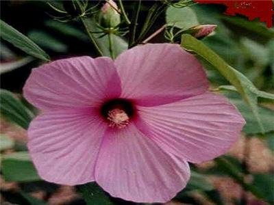 BULK - Hardy HIBISCUS LASIOCARPUS pink 200 seeds
