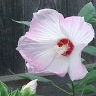 HARDY SWAMP HIBISCUS  MOSCHEUTOS bicolored white - pink 20 seeds