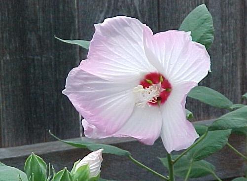 BULK - Hardy SWAMP HIBISCUS  MOSCHEUTOS bicolored white - pink 200 seeds