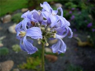 Skyblue CLEMATIS HERACLEIFOLIA non-climbing bushy  100 seeds
