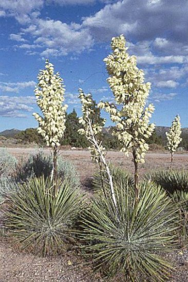 SOAPTREE YUCCA ELATA extremely frost hardy 10 seeds