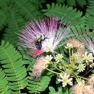 SILK TREE  ALBIZIA JULIBRISSIN 10 seeds