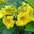 YELLOW BELLS  TRUMPET FLOWER  TECOMA STANS 10 seeds