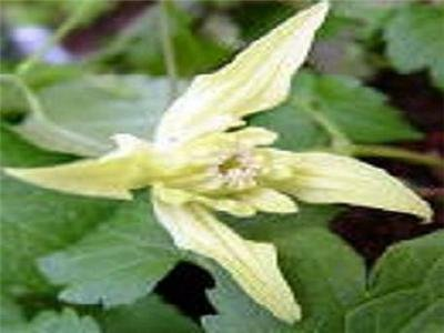Pale yellow CLEMATIS CHIISANENSIS KOREAN BEAUTY 100 seeds