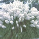 PAMPAS GRASS WHITE Cortaderia selloana 50 seeds