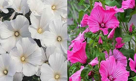 ROSE MALLOW LAVATERA TRIMESTRIS pink & white 20 seeds