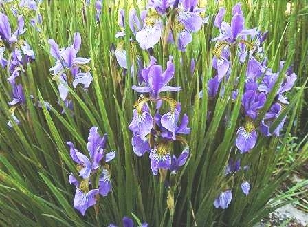 BULK SIBERIAN IRIS, IRIS SIBERICA 100 seeds