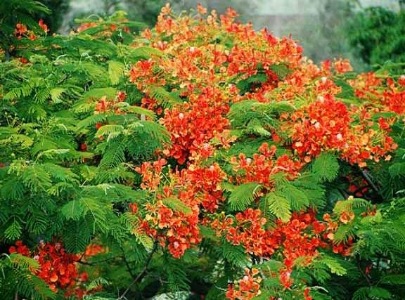 Delonix regia ROYAL POINCIANA FLAMBOYANT TREE extremly colorful 10 seeds