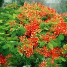 BULK Delonix regia ROYAL POINCIANA FLAMBOYANT TREE extremly colorful 100 seeds