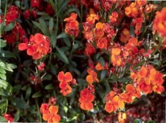 BULK RED ENGLISH WALL FLOWER very fragant 1000+ seeds