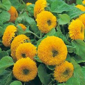 Dwarf SUNFLOWER TEDDY BEAR orange double blooms 15 seeds