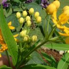 ORANGE BUTTERFLY FLOWER (WEED) perennial Asclepia tuberosa 10 seeds