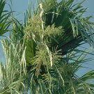 MEXICAN FAN PALM WASHINGTONIA ROBUSTA 10 seeds