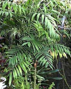 PARLOR PALM CHAMAEDOREA ELEGANS house plant 10 seeds
