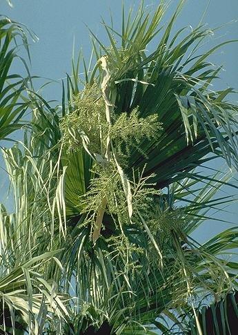 BULK MEXICAN FAN PALM WASHINGTONIA ROBUSTA 100 seeds