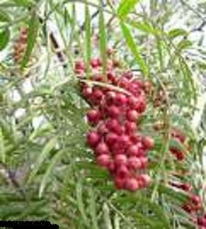BULK CALIFORNIA PEPPER TREE Schinus molle 100 seeds