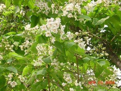 SOUTHERN CATALPA BIGNONIOIDES Caterpillar tree 20 seeds