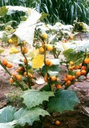 COCONA Solanum topiro exotic delicious fruit 10 seeds