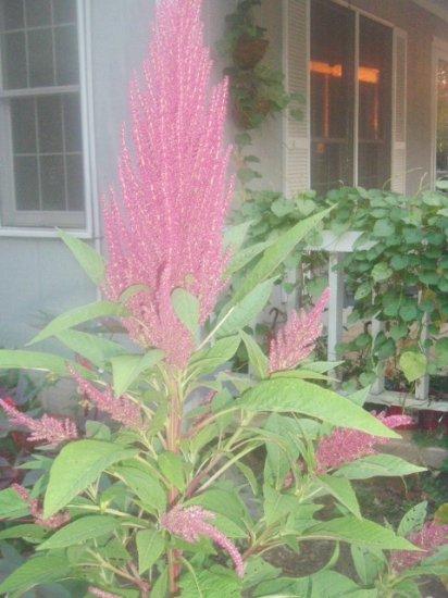 COCKSCOMB - Celosia Argentea 100+ seeds