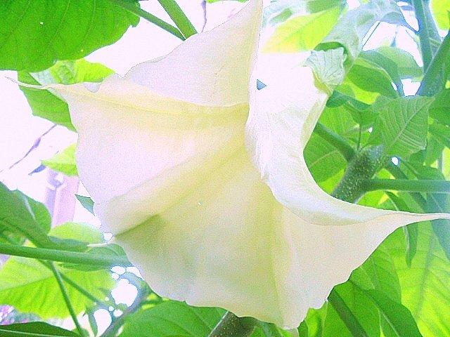 BRUGMANSIA Suaveolens white Angel trumpet 10 seeds